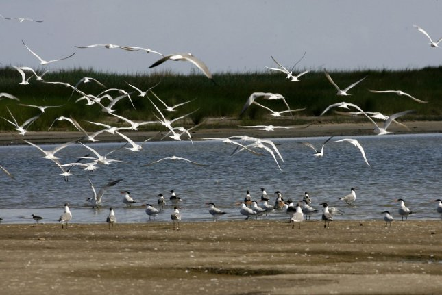 Seabirds are at increasing risk of accidentally ingesting plastic pollution. File Photo by A.J. Sisco/UPI
