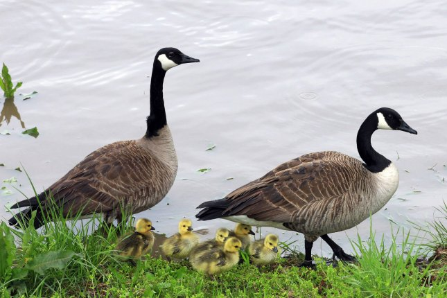 Canada geese are being culled in Denver by a federal agency in charge of killing wildlife on airports. Meat will be given to needy families, the parks department said.   File photo by Bill Greenblatt/UPI.