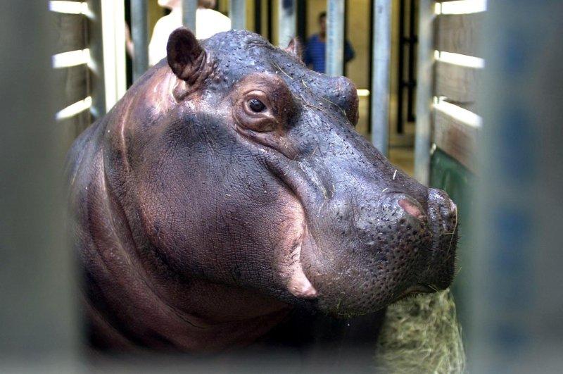 Intoxicated man thought hippopotamus beat him - UPI com