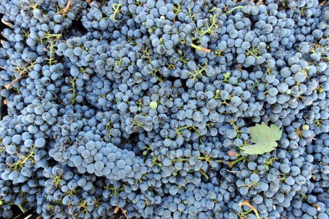 For healthier wine -- look for the darkest reds, grown in sunny places. A close-up of cabernet sauvignon grapes picked during the harvest. UPI/Debbie Hill