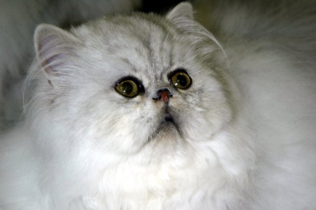 A Persian cat, not the same feline pictured here, was reunited with her owner in Michigan after being found three years after her disappearance. File Photo by Laura Cavanaugh/UPI