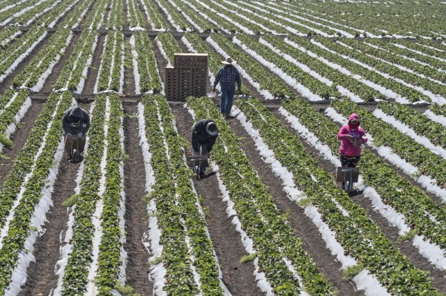 Farmworkers pick strawberries in Marina, Calif., on April 28. Agricultural workers have remained on the job providing produce during the coronavirus pandemic. File Photo by Terry Schmitt/UPI