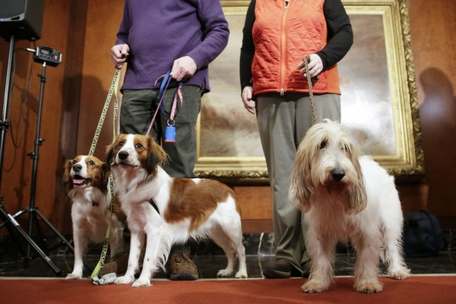 Two Nederlandse Kooikerhondje and a Grand Basset Griffon Vendeen are held by their handlers at a news conference Wednesday as the AKC announces recognition of new dog and cat breeds in New York City. Photo by John Angelillo/UPI