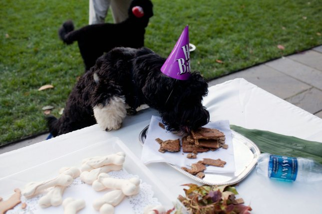 Bo, family dog of U.S. President Barack Obama, eats treats at his birthday celebration in the Rose Garden of the White House in Washington on October 9, 2009. UPI/Pete Souza/The White House