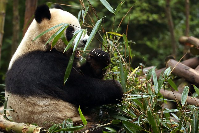 A giant panda eats bamboo leaves in Chengdu, Sichuan Province, China. A new report says pandas, tigers and many other forms of wildlife worldwide are in biodiversity decline and coordinated global action is needed to halt the losses. File Photo by Stephen Shaver/UPI