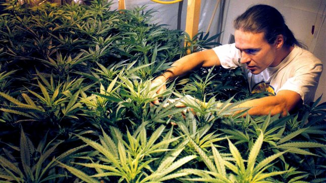 In the attic of his house an unidentified Dutch potsmoker grows marijuana plants. File/UPI