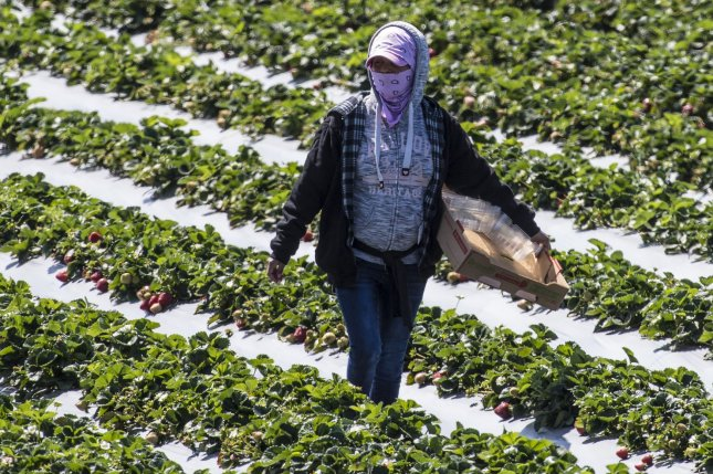 Farmworkers pick strawberries in Marina, Calif., last month. Rural areas may be the next to be hardest hit by the COVID-19 outbreak, experts say. File photo by Terry Schmitt/UPI