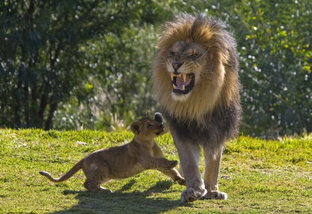 Ekundu, a 3-month-old African lion cub, runs up to his father Izu at the San Diego Zoo's Wild Animal Park on February 15, 2008. Lions roar as a form of communication and at the Wild Animal Park Izu's roar can be heard all over the 1,800-acre facility. Ekundu and his six siblings were recently introduced to their 400-pound dad and have since been inseparable. (UPI Photo/Ken Bohn/San Diego Zoo's Wild Animal Park)