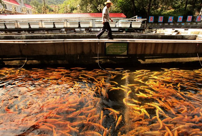 A Chinese worker tends to farm-raised trout at a fish farm in Beijing September 20, 2010. Omega- 3 is commonly consumed in fish. UPI/Stephen Shaver