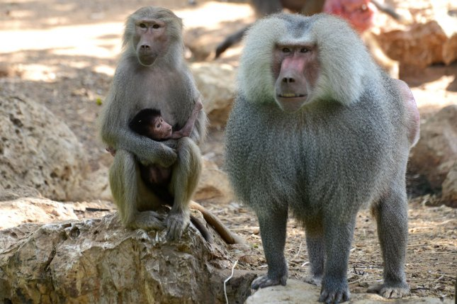 A three day old unnamed baby baboon is carried by his mother, Sigal, (R) in the Ramat Gan Safari Park near Tel Aviv, Israel, August 23, 2013. Sigal, the mother, keeps the baby with her constantly to keep the stronger females from grabbing him away. UPI/Debbie Hill