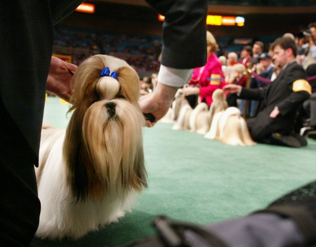 Hallmark Jolei Jezebell, a Shih Tzu, gets a final combing during judging before taking first place for this breed at the 129th Westiminster Kennel Dog Show held at Madison Square Garden on February 14, 2005 in New York City. Over 2,500 dogs compete in the two day event which judges the purebred canines by best of breed, best of catagory and ultimately best of show. (UPI Photos/Monika Graff)