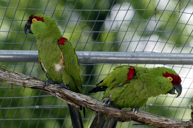 New research reveals the neural origins of the superior intelligence of parrots. File Photo by Bill Greenblatt/UPI