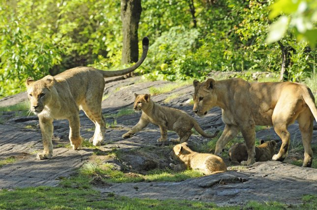Expedition finds lost lion population in Ethiopia