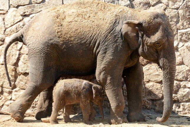 Researchers have developed a method for turning elephant dung into cellulose pulp to make paper products. Photo by UPI/Debbie Hill