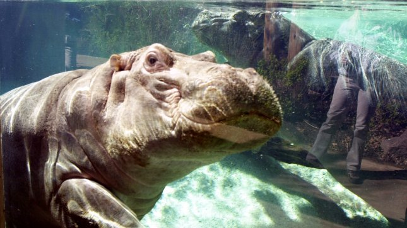 Bibi, a three year-old Nile hippopotamus at the St. Louis Zoo in St. Louis, April 25, 2002. mk/bg/Bill Greenblatt UPI