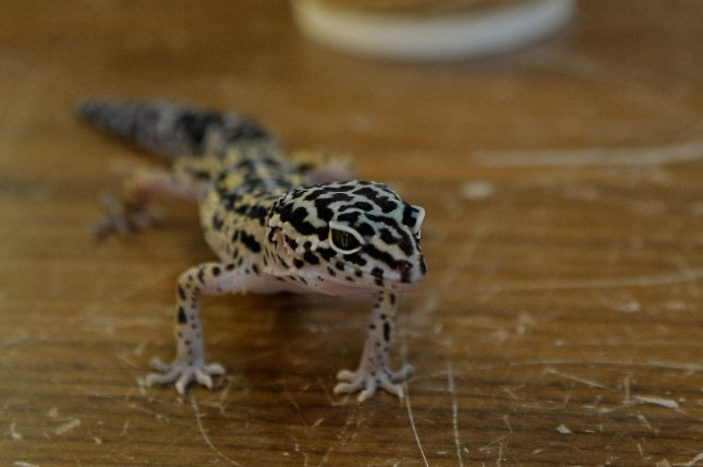 Authorities in Britain said they were called to remove a gecko that had stowed away on a flight from Mexico. File Photo by Keizo Mori/UPI