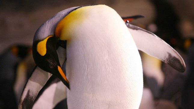 An adult king penguin preens at his home in the Penguin and Puffin Coast at the St. Louis Zoo. (UPI Photo/Bill Greenblatt)
