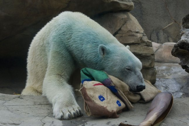 A 7-year-old polar bear named Kalluk plays with a burlap doll painted with non-toxic paint by zookeepers at the San Diego Zoo on May 8, 2008. The paint left the blue-green shade seen on the bear's fur. (UPI Photo/Ken Bohn/San Diego Zoo)