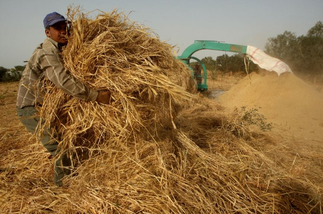 Palestinian farmers grind load a combine harvester with wheat during the annual harvest season in Rafah in April. File Photo by Ismael Mohamad/ UPI