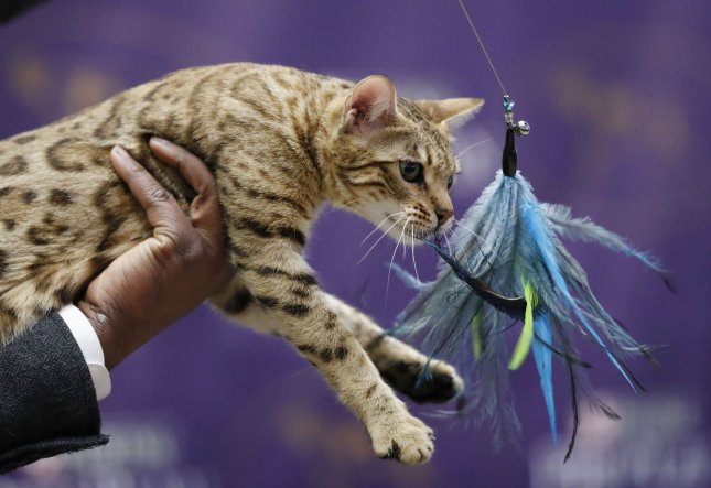 A Bengal cat is held on stage at the Westminster Dog Show Meet the Breeds event two weeks before the 141st Annual Westminster Kennel Club Dog Show at Madison Square Garden in New York City on January 30. Cats will be featured on the show's program for the first time in it's 140-year history. Photo by John Angelillo/UPI