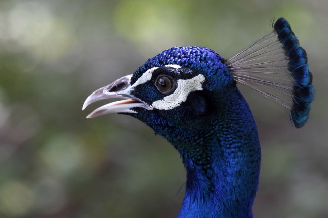 Police in New York chased a peacock that escaped from a zoo in Brooklyn and ran through traffic for about 15 minutes. File Photo by Maryam Rahmanian/UPI