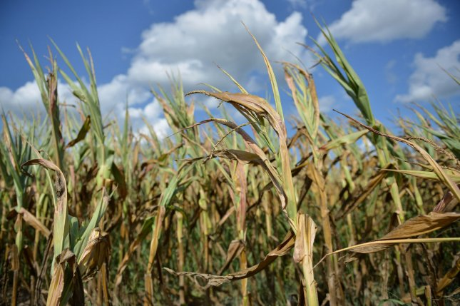 Corn plants are seen on August 6, 2012 in Ridgely, Maryland. The Nation's corn crop continues to deteriorate as the country suffers from the worst drought in 56 years. UPI/Kevin Dietsch