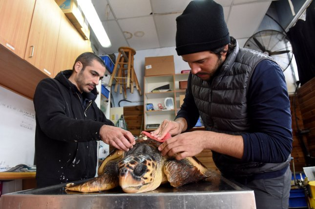 A worker removes barnacles off an injured loggerhead sea turtle at the Israel Sea Turtle Rescue Center of the Israeli National and Parks Authority in Mikhmoret, Israel, Jan. 20, 2019. The ten year old center is located on the Mediterranean Sea and saves sea turtles that have washed ashore on the Israel coast. Recently more than forty sea turtles waved ashore suffering from shock wave trauma. The injured sea turtles are given medical care and a safe place to heal, before being released back to the sea. The center is also breeding Green sea turtles. Photo by Debbie Hill/UPI