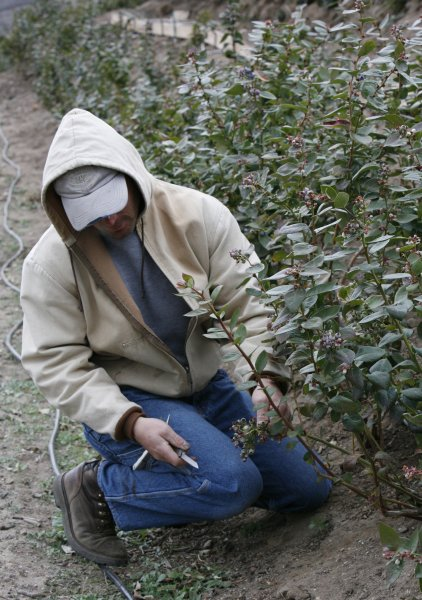 Blueberries, celery and grapes may reduce the risk of diabetes. Organic farmer Greg Berry examines the damage to the new crop of blueberries on his farm in Moorpark, California. (UPI Photo/ David Silpa)