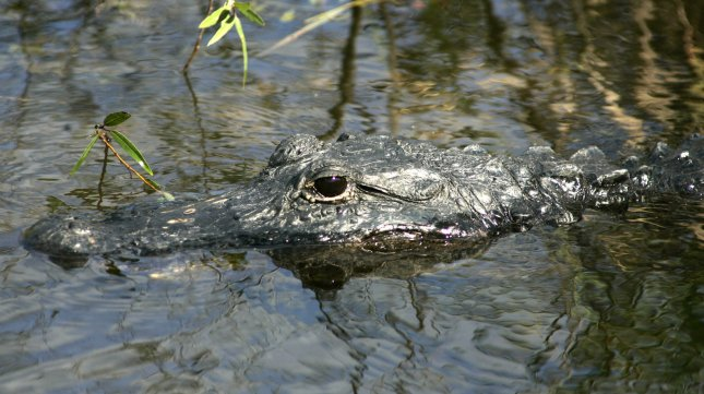 An American alligator at the Everglades National Park in Florida City, Florida on December 8, 2007. (UPI Photo/Michael Bush)