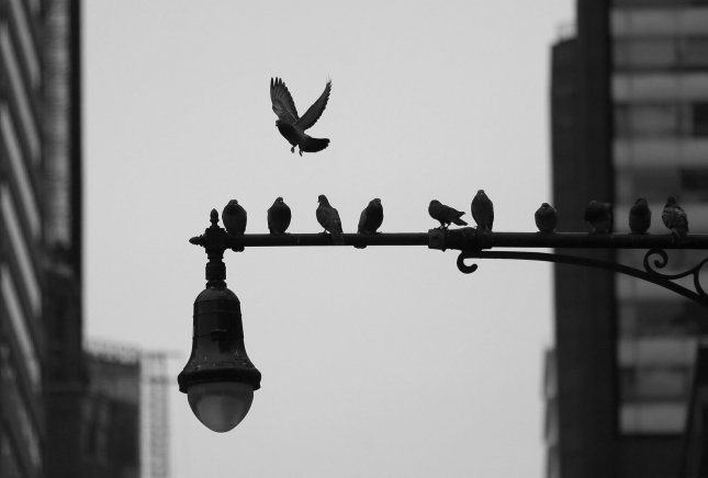 Birds fly on and off of a lamp post on 5th Avenue in New York City on November 30, 2018. A study released Thursday found that the bird population in North America has declined by 29 percent since 1970. File Photo by John Angelillo/UPI
