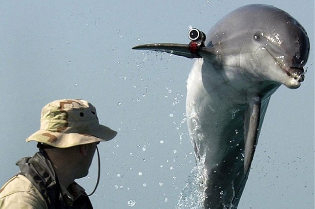 K Dog, a bottle nose dolphin from Commander Task Unit, leaps out of the water during training near the USS Gunston Hall operating in the Arabian Gulf. File photo by Rex Features/UPI