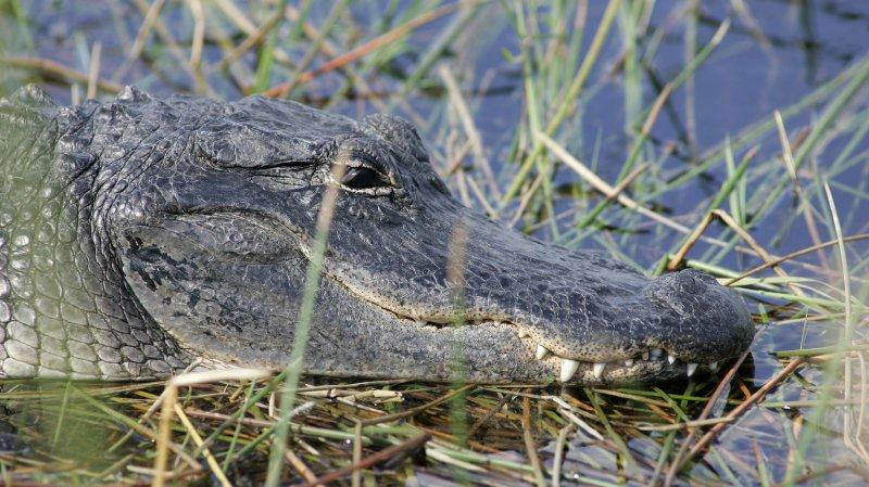 An American alligator in Everglades National Park, Florida. (File/UPI Photo/Michael Bush)