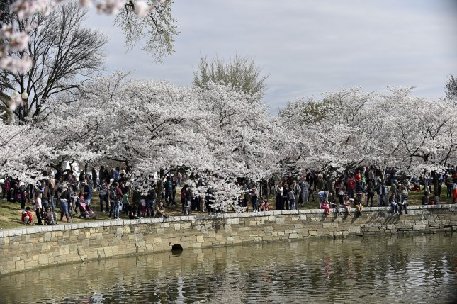 Damage to the 120-year-old seawall at the National Mall's Tidal Basin in Washington, D.C., is endangering the city's famous cherry trees. File Photo by David Tulis/UPI