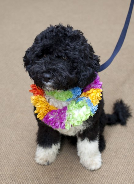 The Obama's new puppy, Bo, a six-month old male Portuguese water dog, is seen in this White House photograph released April 12, 2009. (UPI Photo/Pete Souza/White House handout)