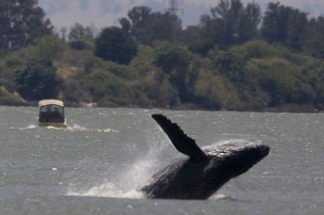 New research can help scientists predict which whale species are most vulnerable to population collapse. Photo by UPI Photo/Aaron Kehoe