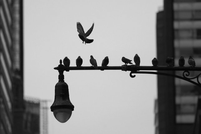Birds fly on and off of a lamp post on 5th Avenue in New York City on November 30, 2018. The Trump administration is changing its interpretation of the Migratory Bird Treaty Act to shield companies from regulations to protect migratory birds. Photo by John Angelillo/UPI