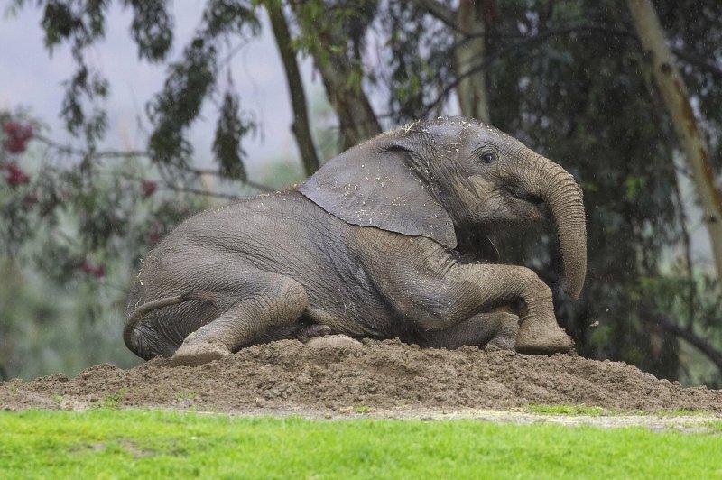 African elephants have 2,000 olfactory receptors -- twice as many as dogs. (UPI Photo/Ken Bohn)