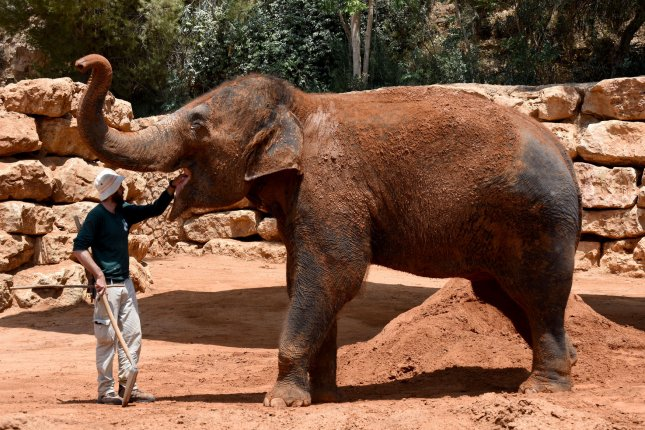Zoos will no longer be able to capture wild Elephants and send them to other nations. File Photo by Debbie Hill/UPI
