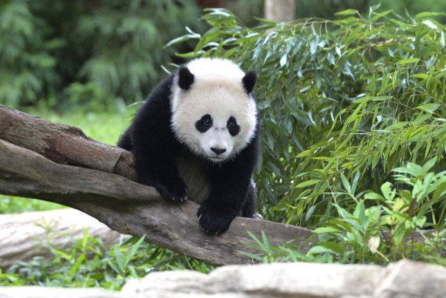 Why the giant panda is black and white