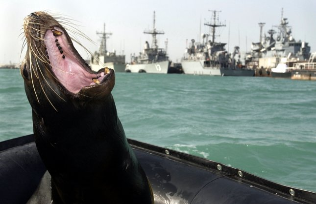 NAV2003013103 - Central Command Area of Responsibility, Jan. 29 (UPI) -- Zak, a 375-pound California sea lion, shows his teeth during one of many training swims taking place in the Central Command AOR on Jan. 29, 2003. Zak is participating in the Space and Naval Warfare Systems Center's Shallow Water Intruder Detection System (SWIDS) program. Zak has been trained to locate swimmers near piers, ships, and other objects in the water considered suspicious and a possible threat to military forces in the area. The SWIDS program has been deployed as part of the continued effort to support missions under Operation Enduring Freedom. rlw/U.S. Navy/Brien Aho UPI