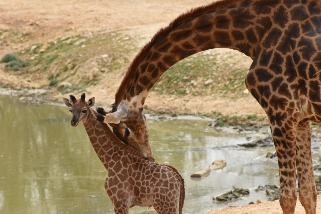 Just 425 giraffes remain in Niger, where they once flourished. File Photo by Debbie Hill/UPI