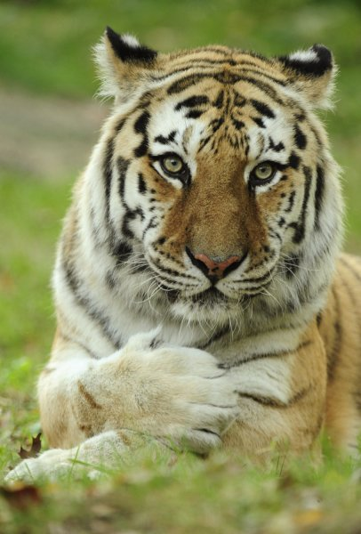 A Siberian tiger is seen at the Wildlife Conservation Society's Bronx Zoo in New York on October 23, 2009. UPI/Julie Larsen Maher/Wildlife Conservation Society
