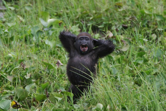 A baby western lowland gorilla sits in the grass in an undated photo taken the Republic of Congo. (UPI Photo/Thomas Breuer)