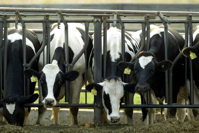 The overuse of antibiotics, crowded feed lots and other characteristics of intensive farming increase the odds that pathogens make the jump to humans, according to a new study. Photo by Mark Cowan/UPI