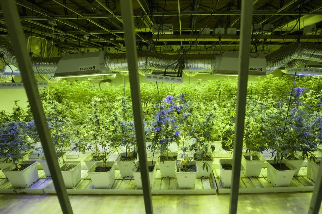Marijuana customers may peer through windows at the marijuana plants as they are cultivated at the 3D Cannabis Center in Denver on January 1, 2014. UPI/Gary C. Caskey