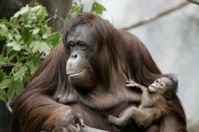 New research suggests juvenile orangutans breastfeed for up to nine years. File Photo by Brian Kersey/UPI