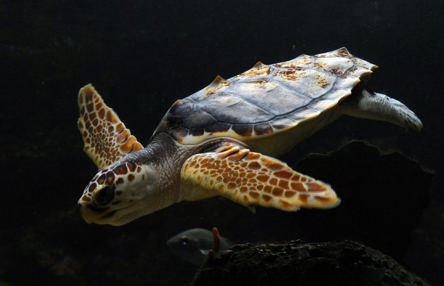 Race is on to rescue stranded turtles