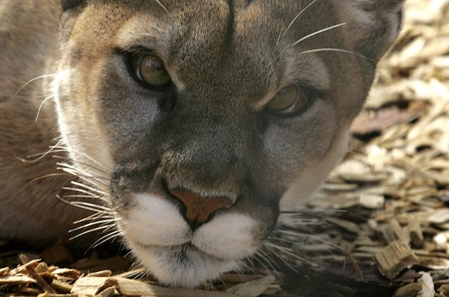 Mountain lion wanders into California family's home at dinner time