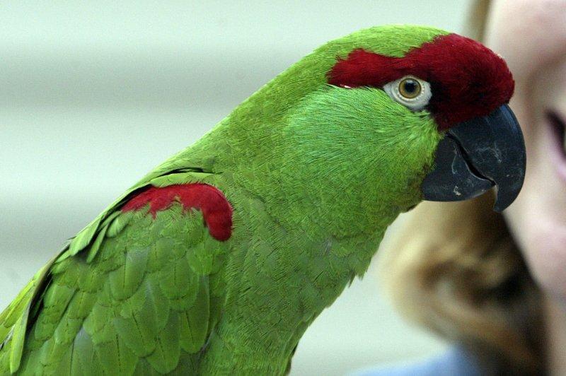 A thick-billed parrot (File/UPI Photo/Bill Greenblatt)