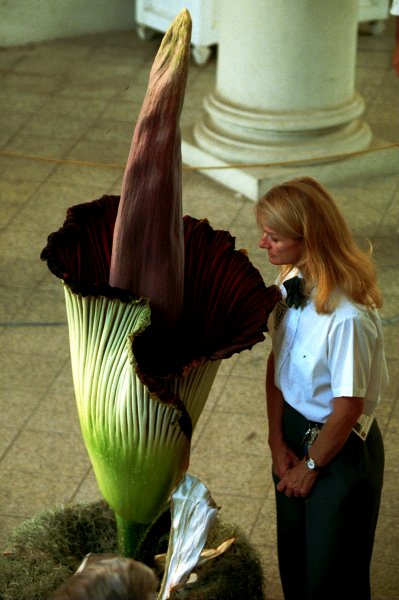 Corpse Flower Blooms At New York Botanical Garden For The First Time Since 1937 Upi Com